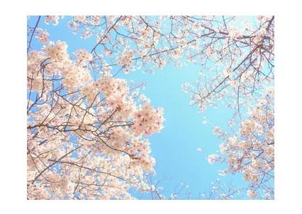 見て癒されるだけじゃない☆桜の花エキスの美容効果♪